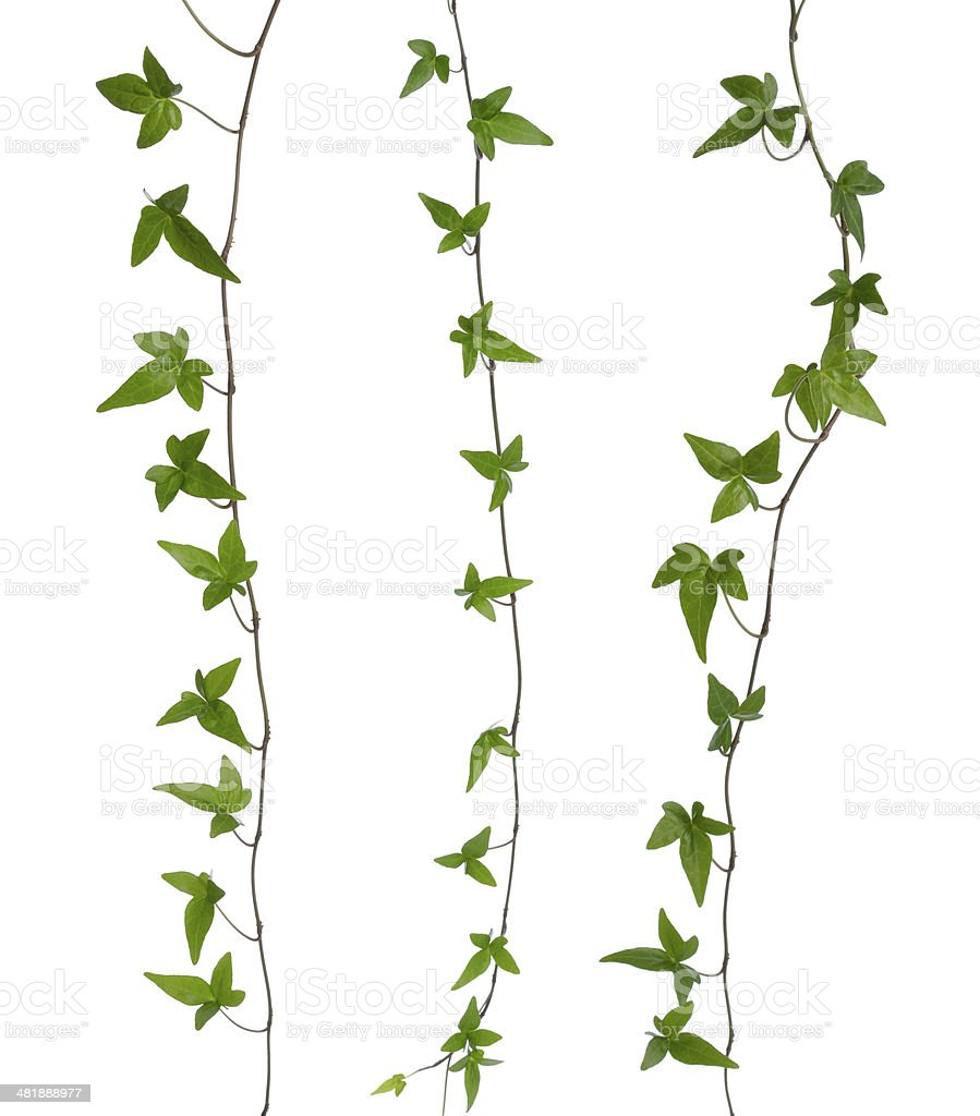 Set of ivy stems isolated. stock photo