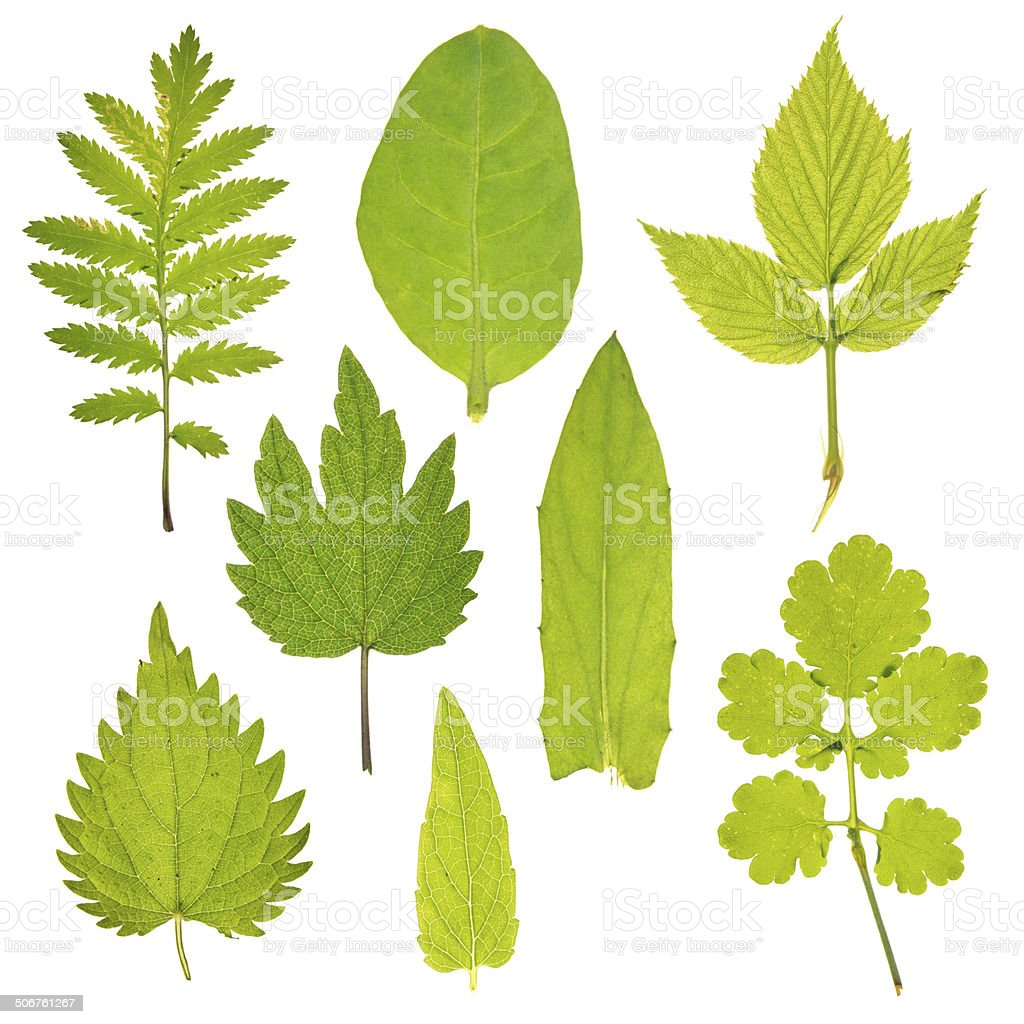 Set of leaves of different medicinal plants stock photo
