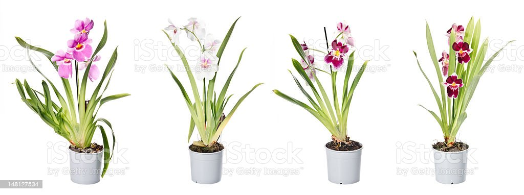 Set of orchids in flowerpots royalty-free stock photo