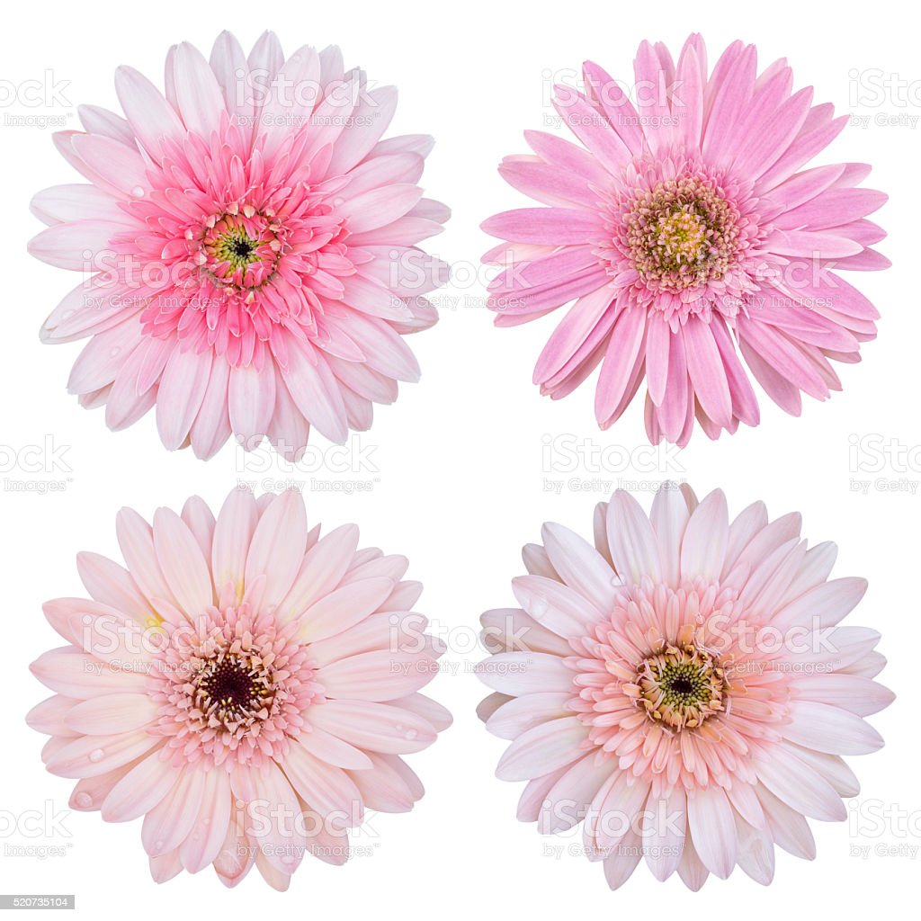 set of pink gerbera flower isolated on white stock photo