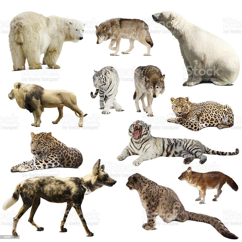 Set of predatory mammals over white stock photo