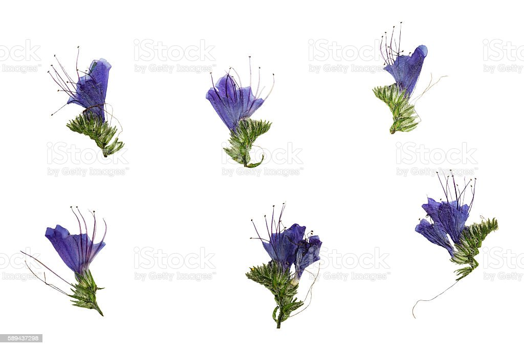 Set of pressed and dried blue flowers echium vulgare stock photo