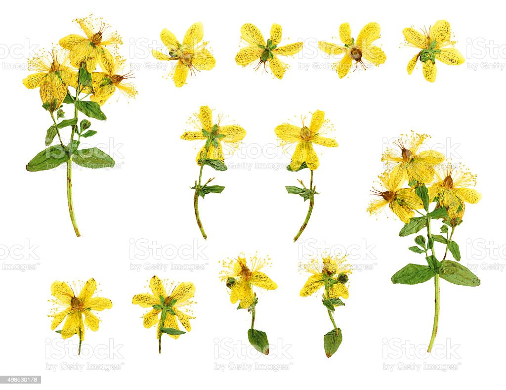Set of pressed and dried flowers hypericum perforatum stock photo