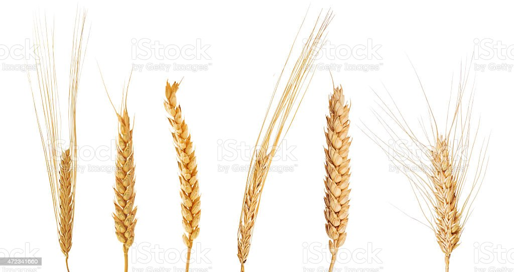 set of six ears of cereals stock photo
