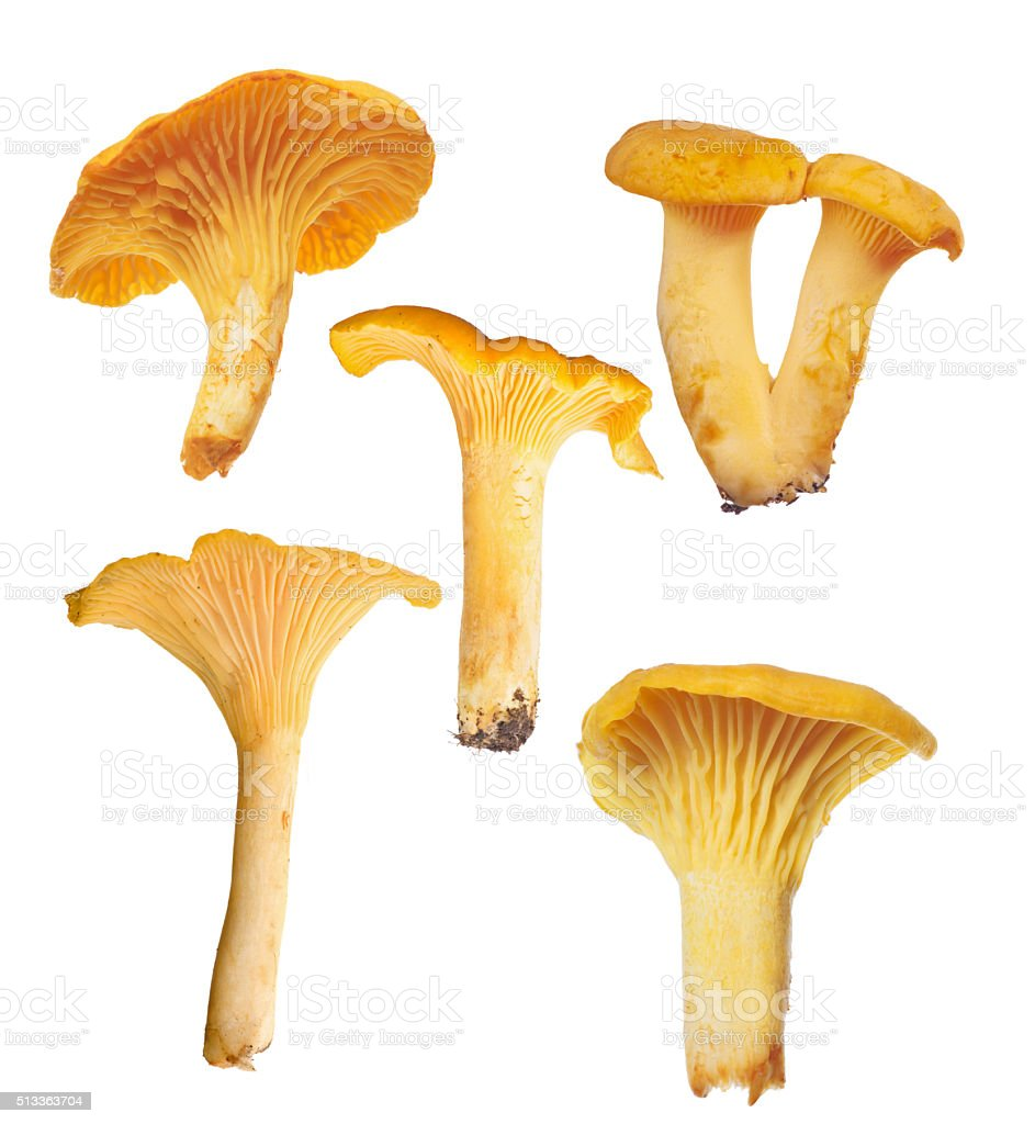 set of six yellow chanterelles on white stock photo