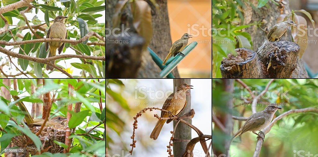 Set of streak - eared bulbul bird on tree nest stock photo