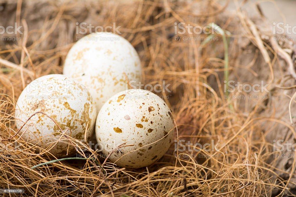 Set of Three Quail Eggs stock photo