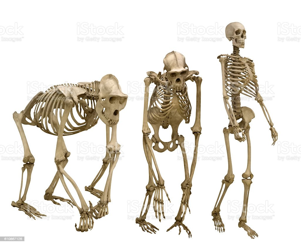 set of three skeletons isolated on white stock photo