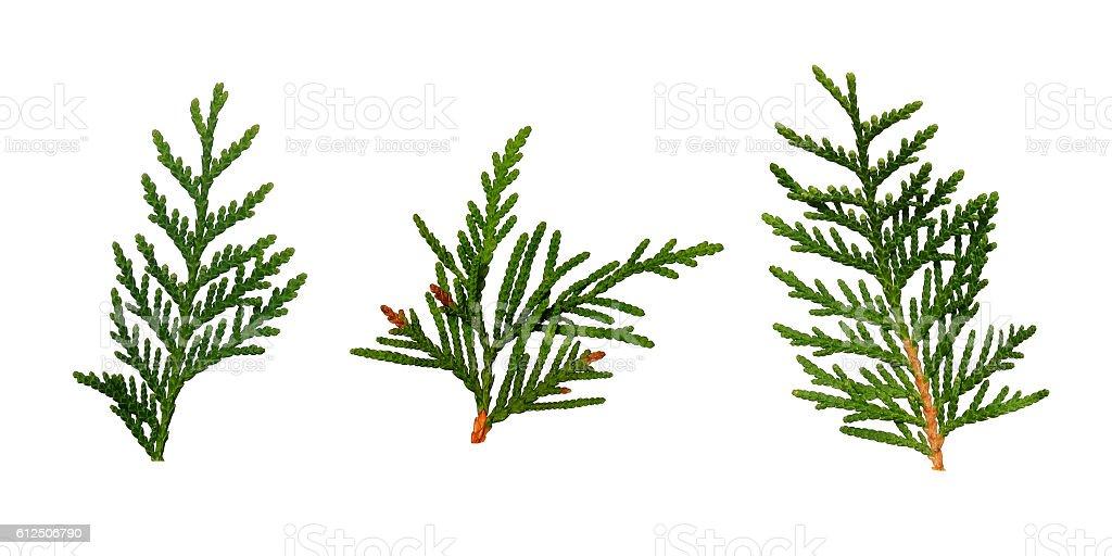 Set of thuja twigs stock photo