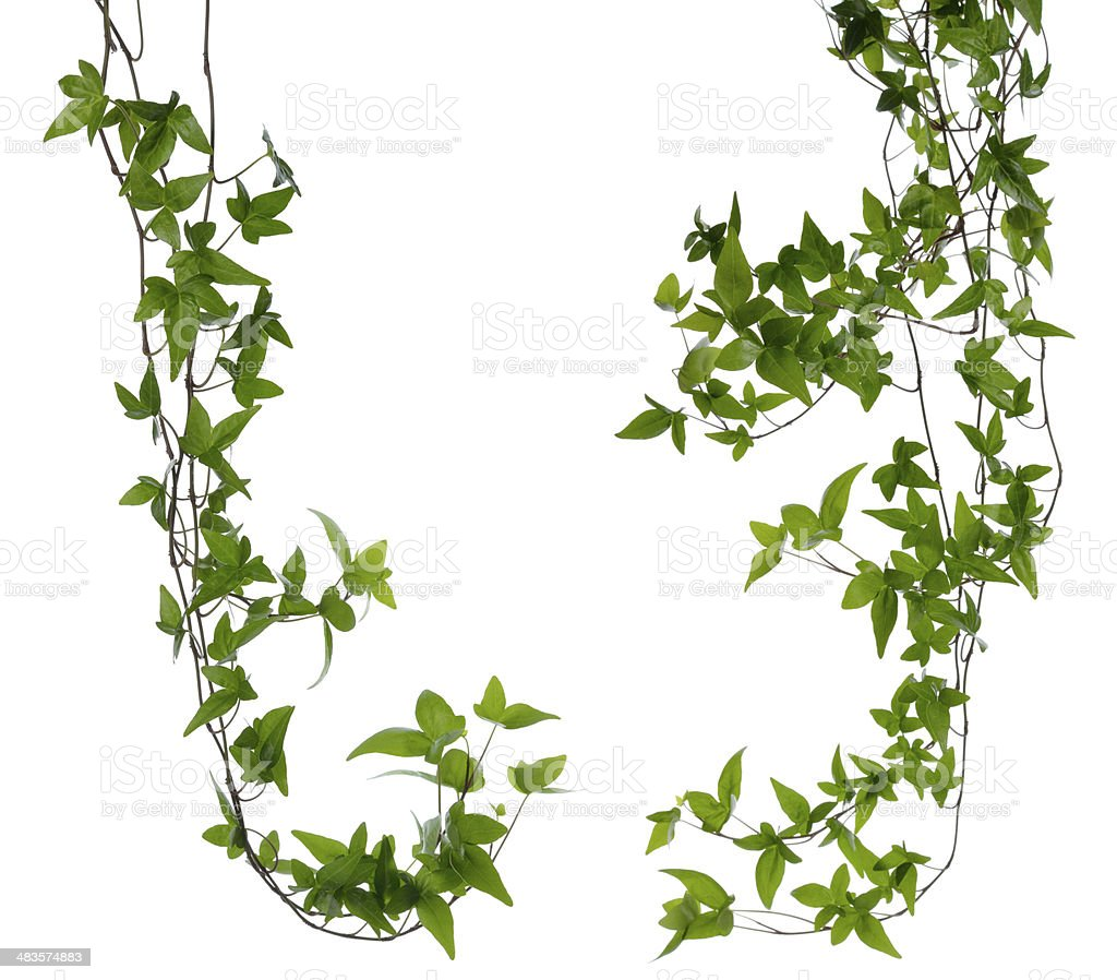 Set of two Ivy stems isolated over white. stock photo