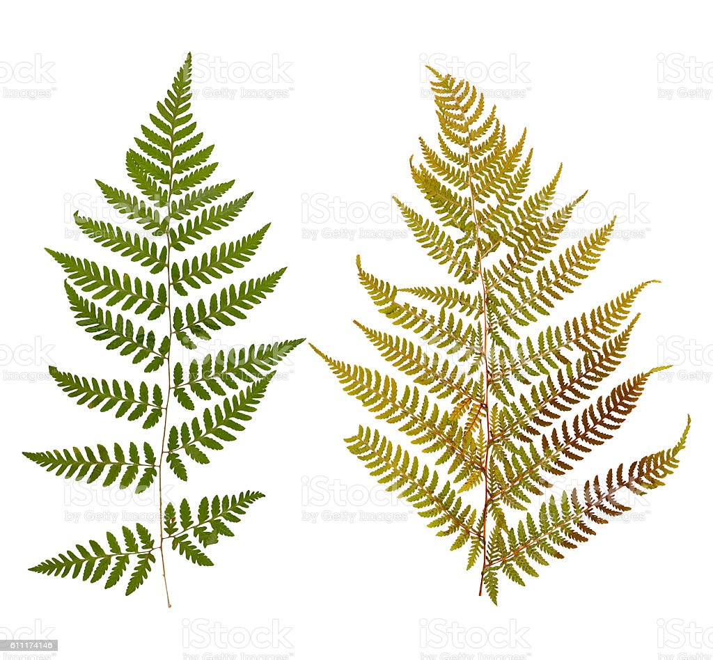 Set of wild dry leaf fern pressed, isolated stock photo