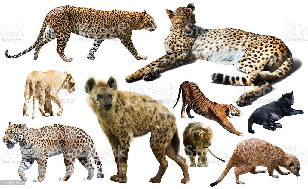 Set of wild mammals isolated over white stock photo