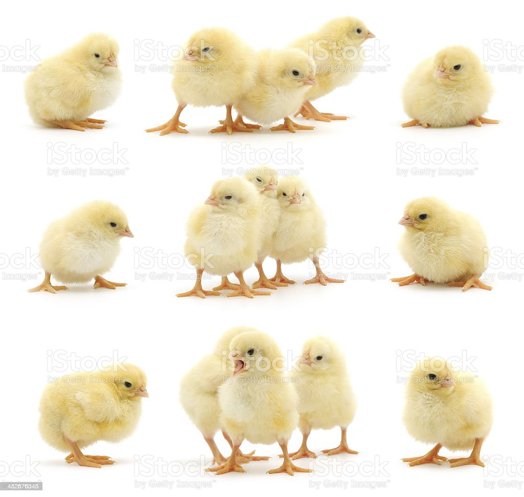 Set of yellow chickens. stock photo