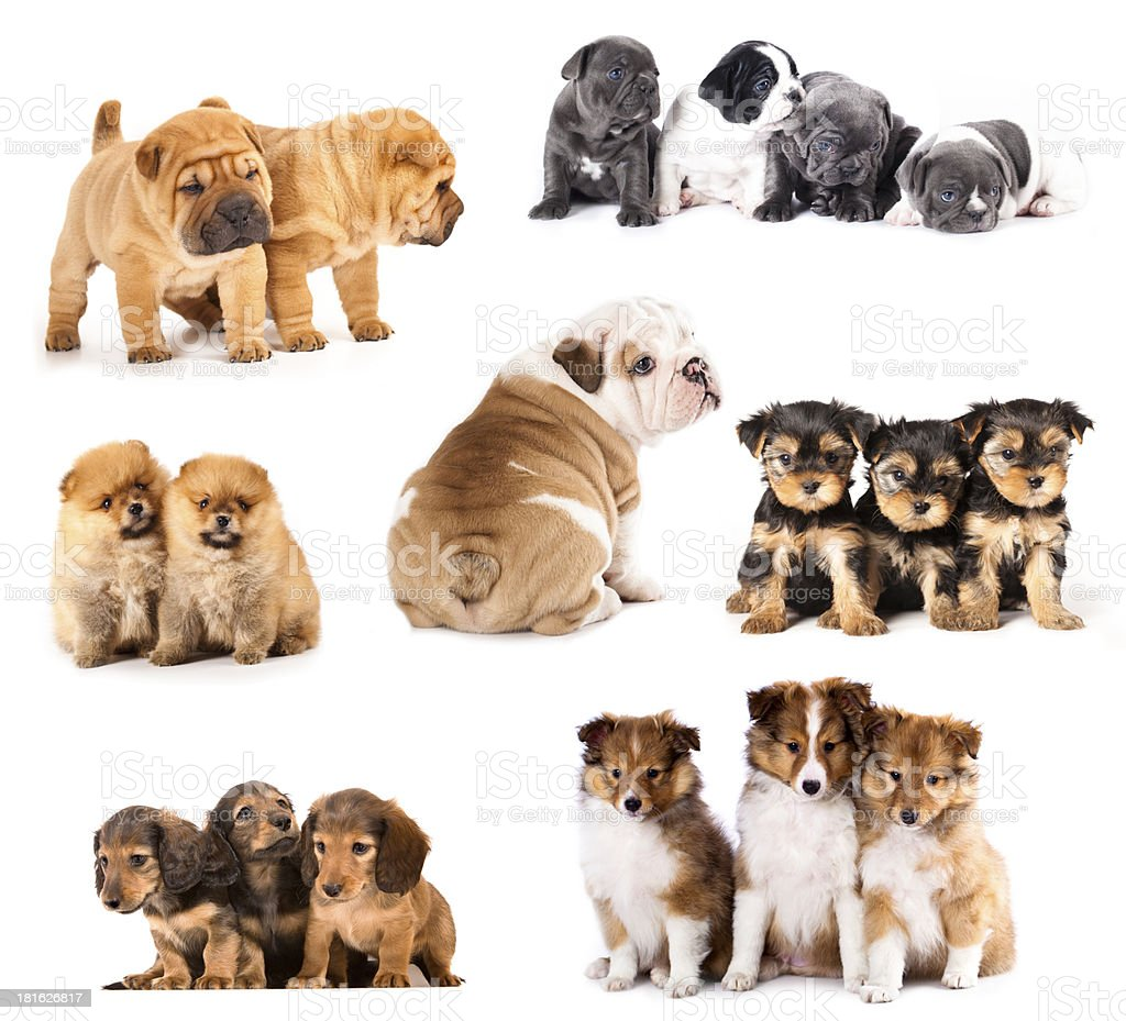 Set Puppies  different breeds stock photo
