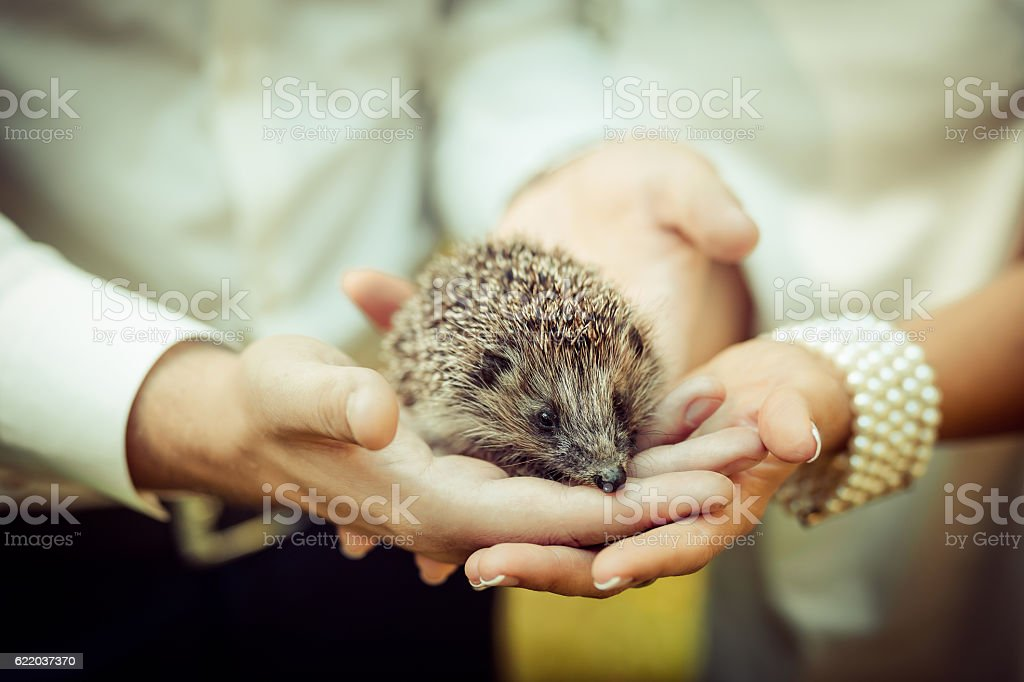 Set. small prickly hedgehog in the hands of people stock photo