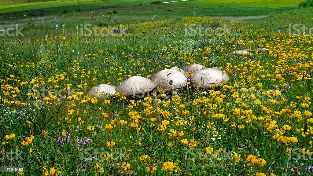 Setas / Mushrooms royalty-free stock photo