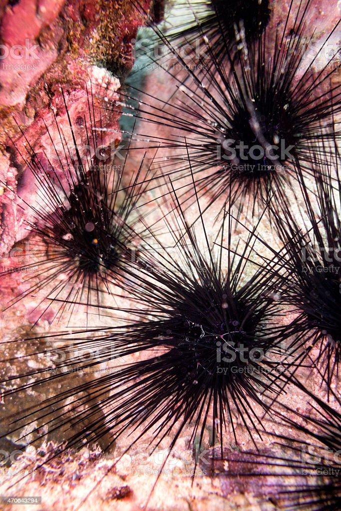 Setosum Spined Urchin (Diadema Setosum) stock photo
