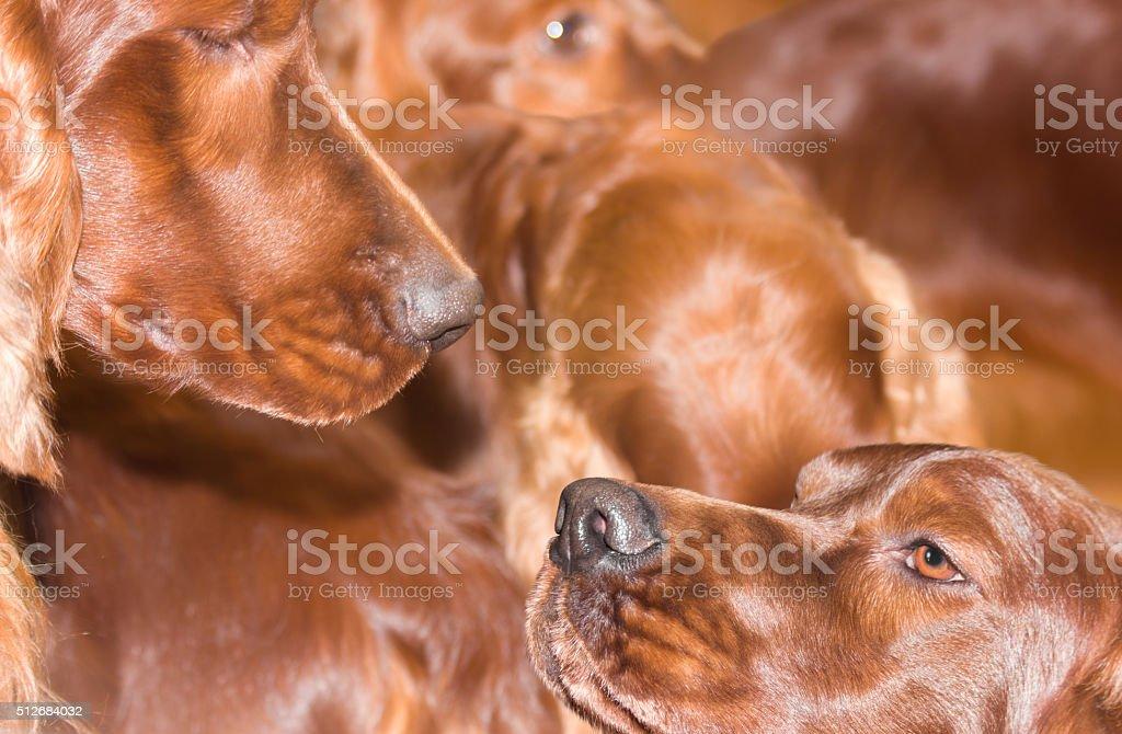 setters family huddled together stock photo
