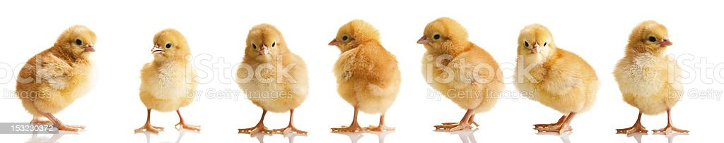 Little chicken animal isolated on white stock photo
