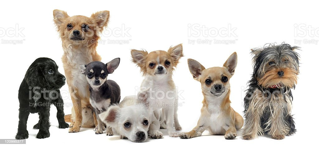 Seven different small dogs on white background royalty-free stock photo