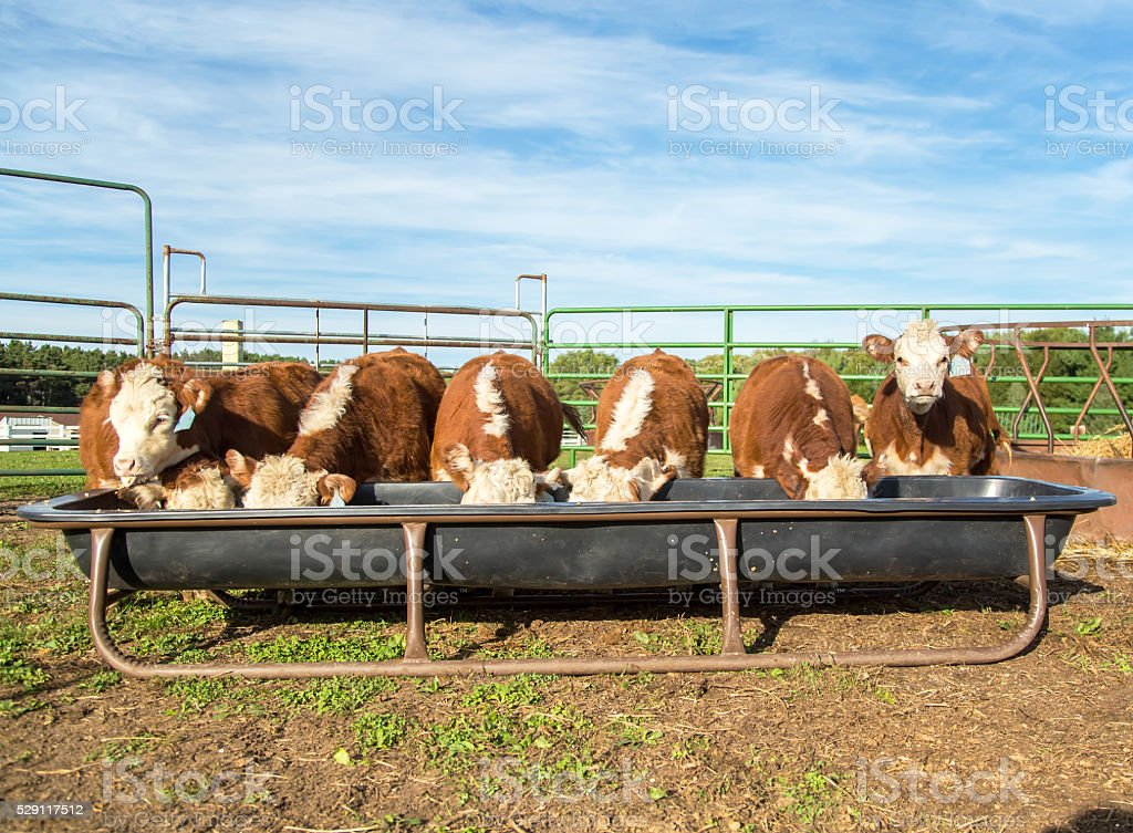 Seven Hereford Calves Eating In A Row stock photo