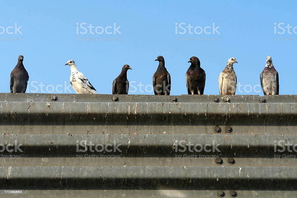 seven pigeons in a row royalty-free stock photo