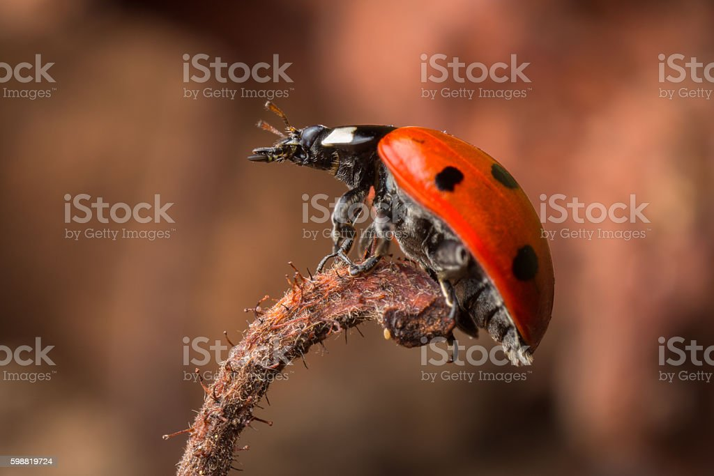 Seven Spot Ladybird on the end of a dead leaf. stock photo