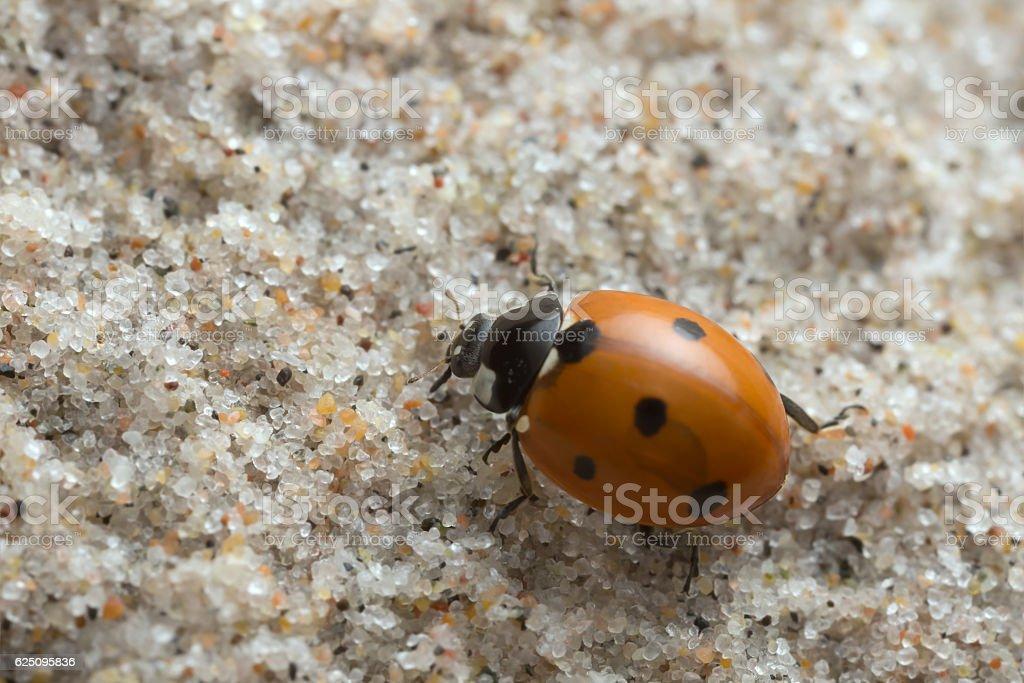 Seven spot ladybug, Coccinella septempunctata on sand stock photo