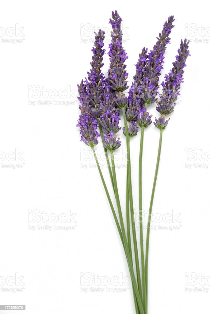 Seven stalks of isolated lavender on a white background stock photo