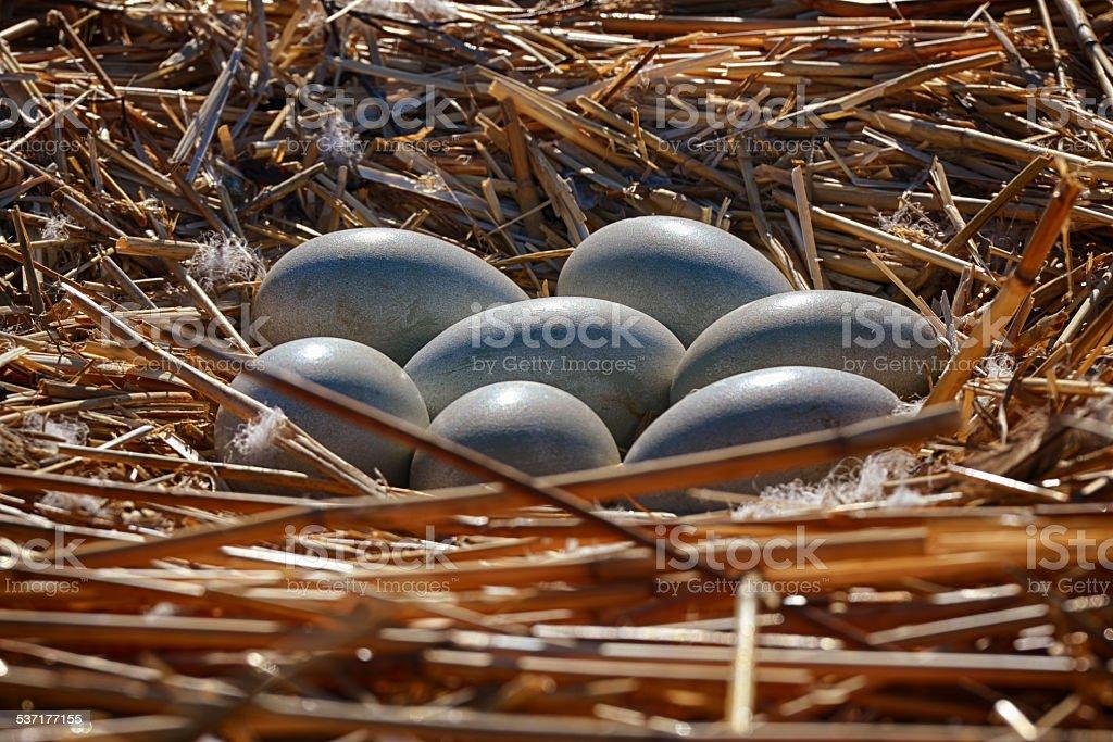 seven swan eggs in the nest stock photo