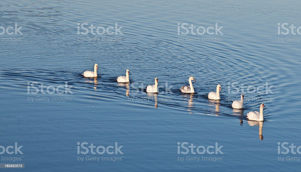 Seven Swans A-swimming (Mute Swan, Cygnus olor) stock photo