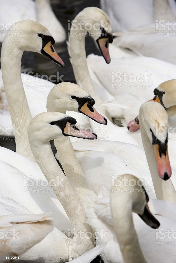 Seven Swans a-swimming stock photo