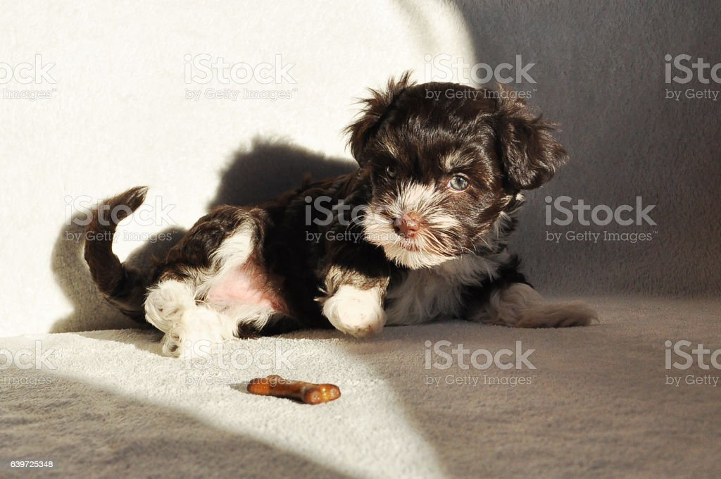 Seven weeks old chocolate havanese puppy noticing a bone biscuit stock photo