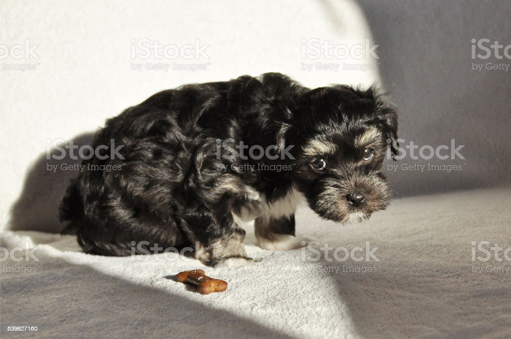 Seven weeks old tricolour Havanese puppy asking for permission stock photo
