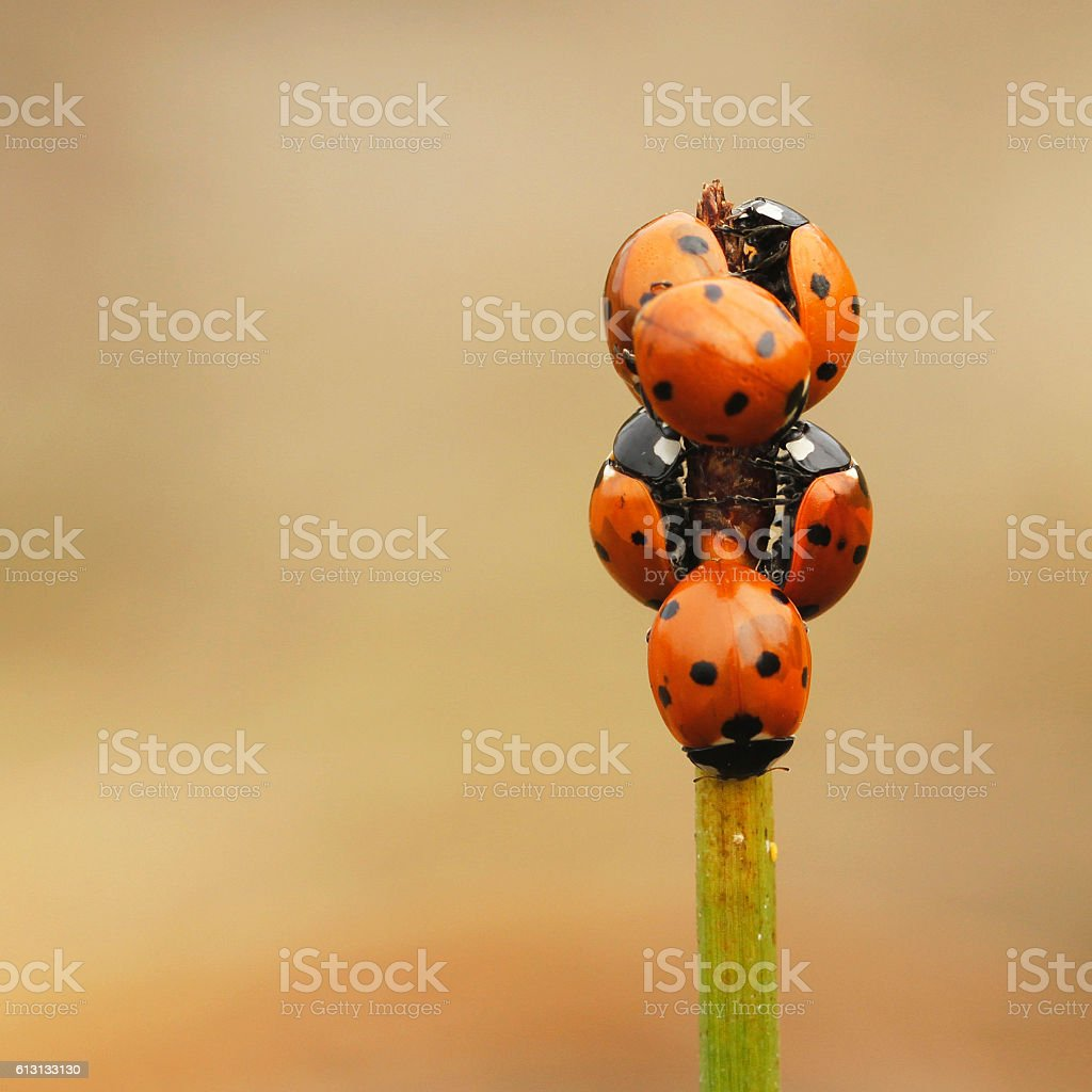 Seven-spot ladybird Coccinella septempunctata stock photo