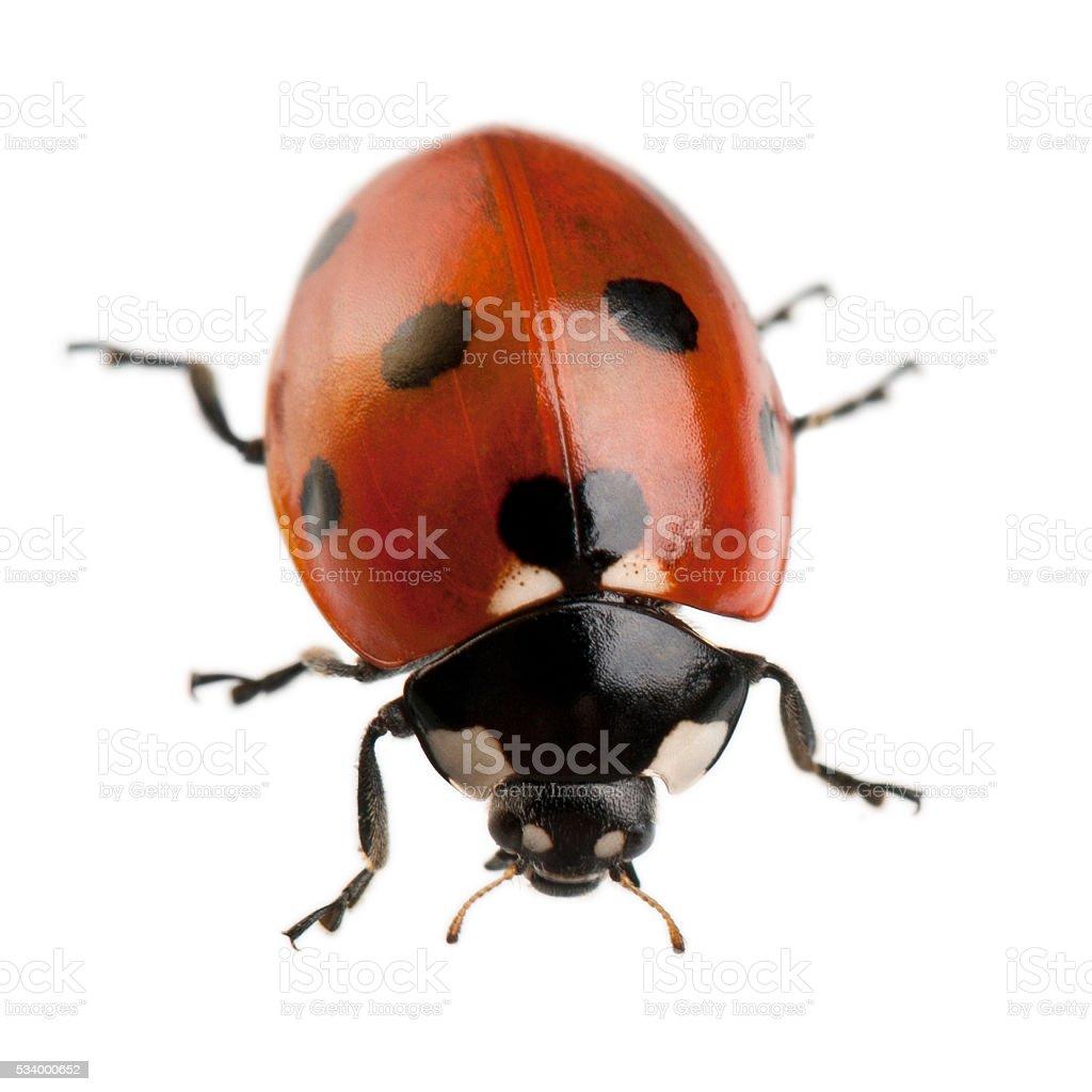 Seven-spot ladybird or ladybug, Coccinella septempunctata, stock photo