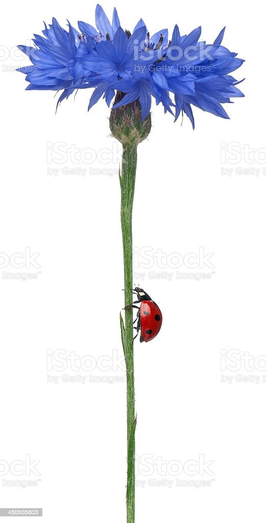 Seven-spot ladybird royalty-free stock photo
