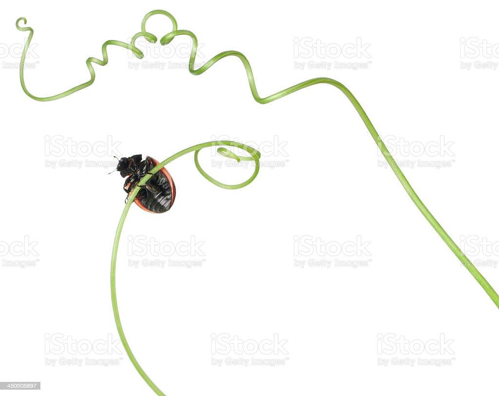 Seven-spot ladybird royalty-free stock photo