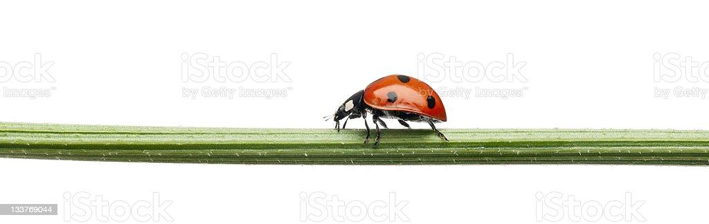 Seven-spot ladybug, Coccinella septempunctata, on plant stem, white background. royalty-free stock photo