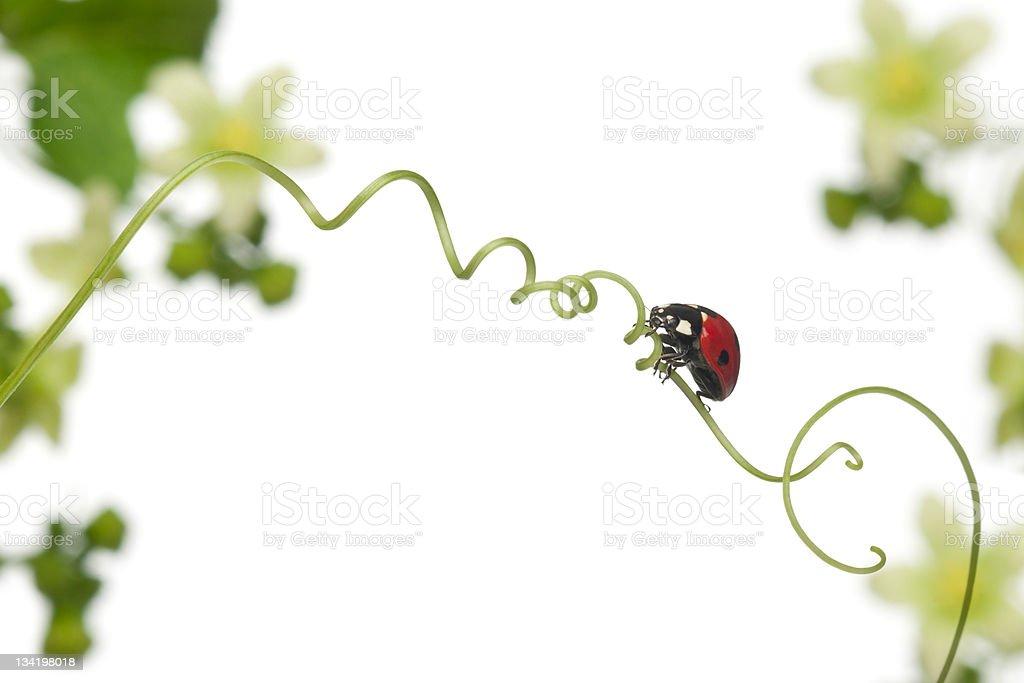 Seven-spot ladybug on Larger Bindweed, Coccinella septempunctata, white background. stock photo