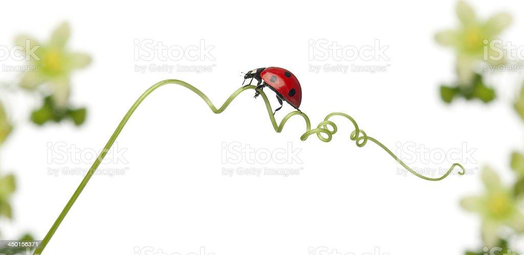 seven-spot ladybug on Larger Bindweed stock photo