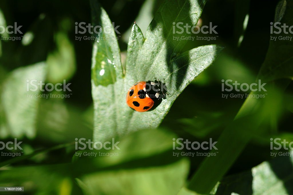 Sevenspotted lady beetle royalty-free stock photo