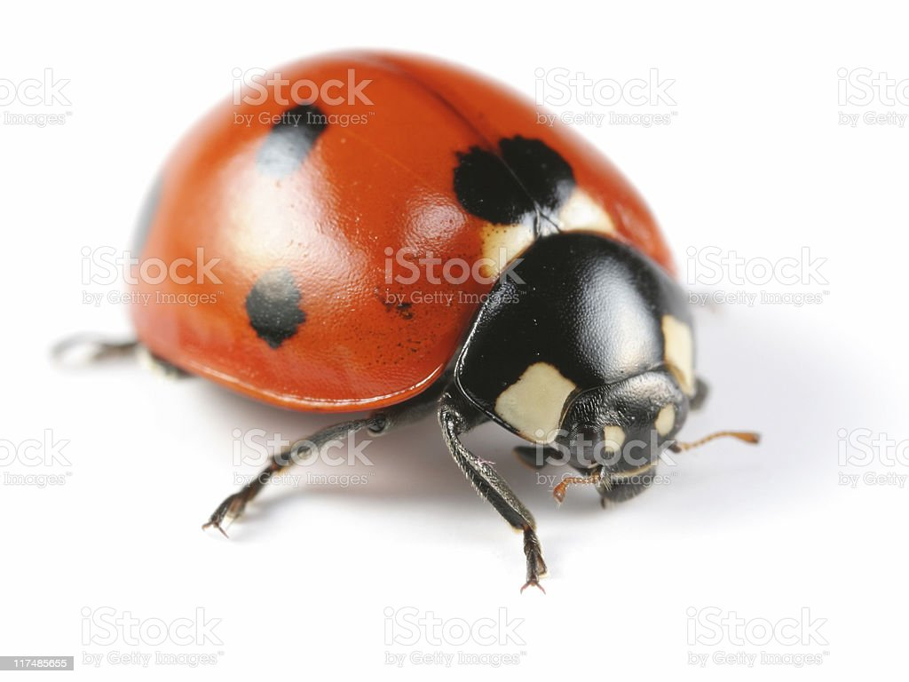 Seven-Spotted Ladybug royalty-free stock photo