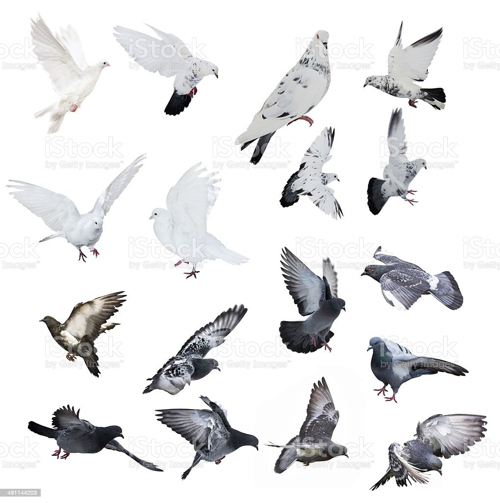 seventeen doves isolated on white background stock photo