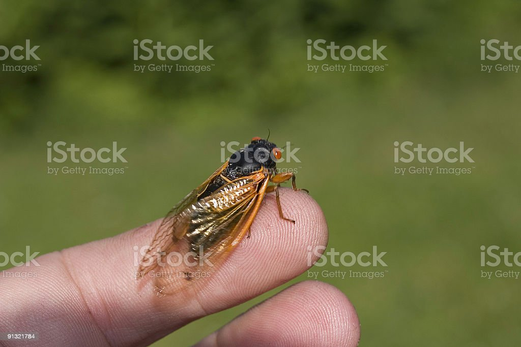 Seventeen Year Cicada on Fingertip royalty-free stock photo