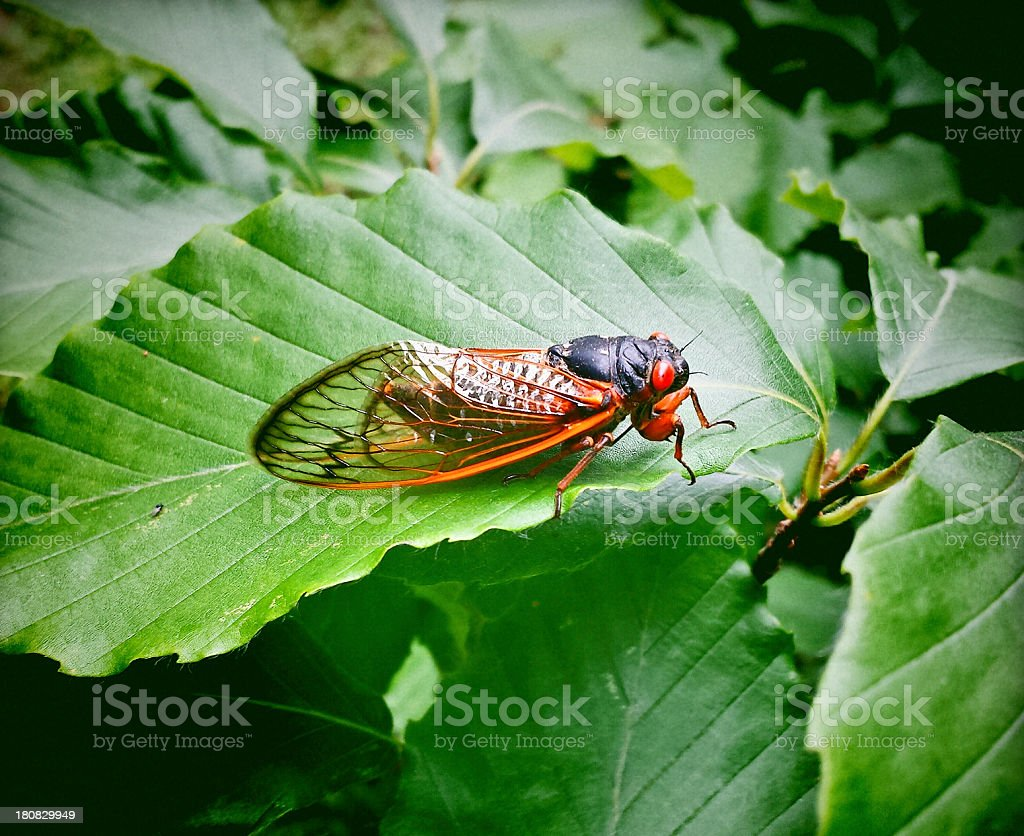 Seventeen Year Cicada stock photo
