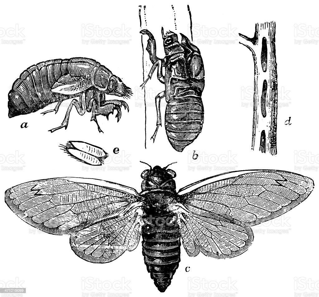 seventeen year locust royalty-free stock photo