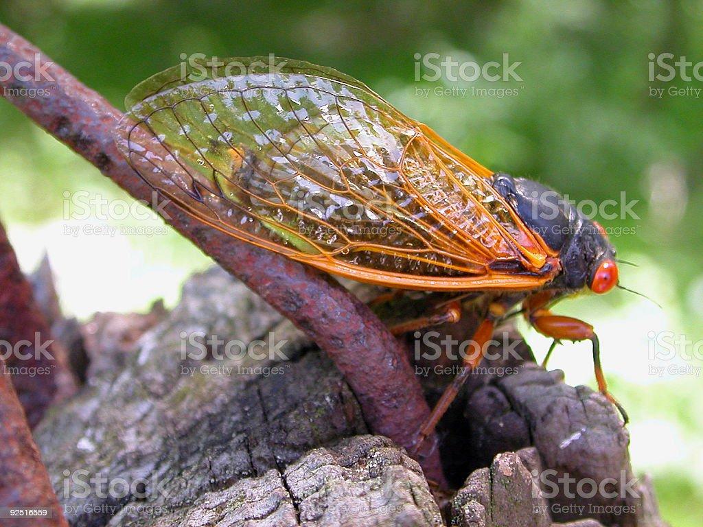 Seventeen-year cicada royalty-free stock photo