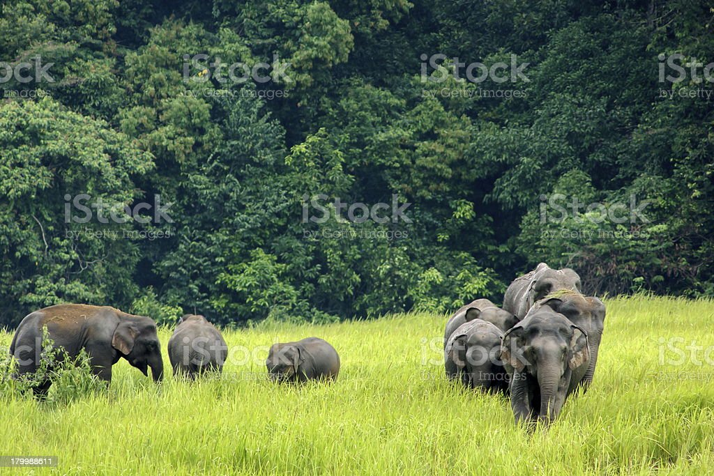 Several Asian elephants in a field surrounded by trees stock photo