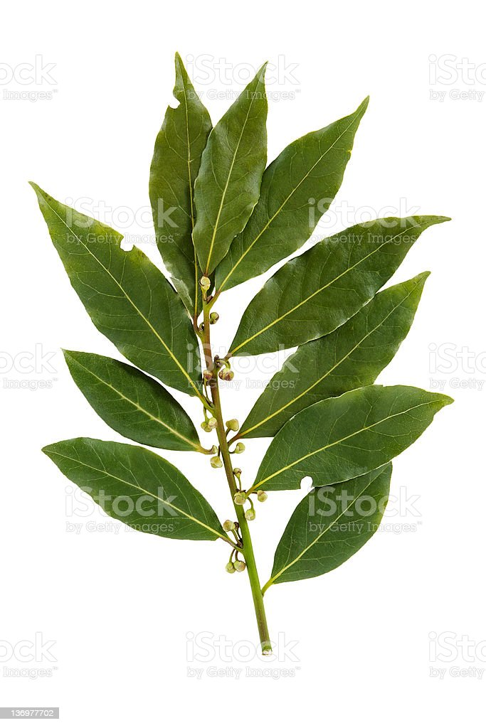 Several bay leaves on a stem on a white background royalty-free stock photo